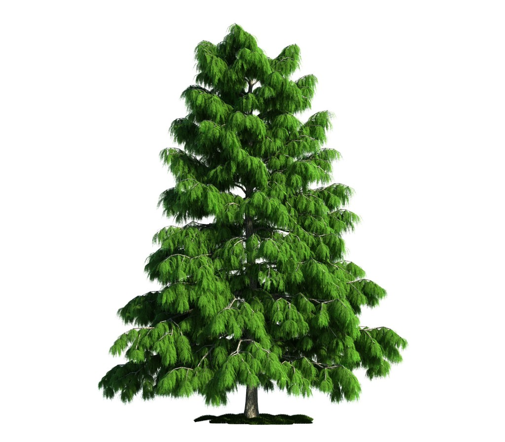 Cedar Tree Pictures, Facts on Cedar Trees Pictures of white cedar trees